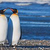 King Penguin • Pingüino Rey (Spheniscus magellanicus), Tierra del Fuego, Chile © Claudio F. Vidal, Far South Expeditions