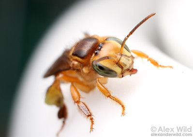A stingless bee (Partamona sp.) visits a sugar bowl.  Maquipucuna reserve, Pichincha, Ecuador