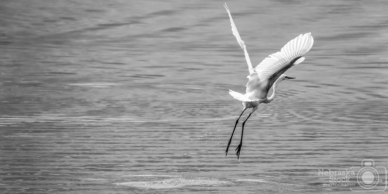 9-2-2018<br /> 245/365<br /> A white egret takes off out of a small farm pond south of Monroe, Nebraska, Sunday afternoon after filling its belly up with fish. <br /> Photo taken with a Sony A9 with a Sony FE 100-400<br /> ISO 640<br /> 1/1000th at F11<br /> Picture No. 147634