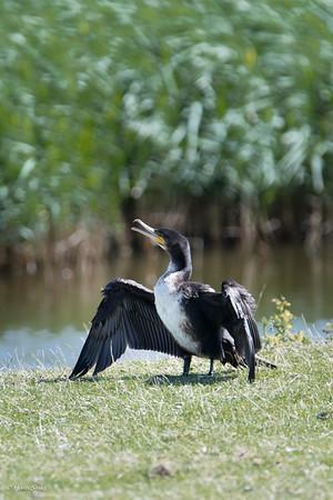 Cormorant, Great (spp. carbo)