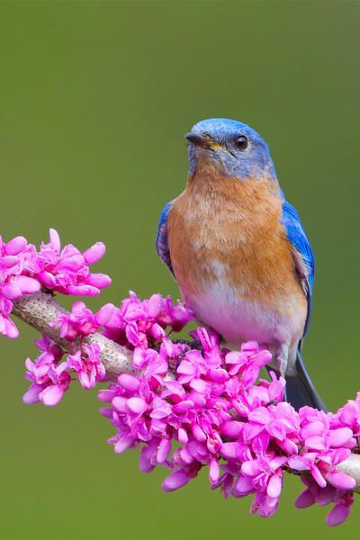 Eastern Bluebird on Eastern Redbud