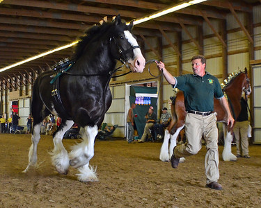 580 Grand Champion.Res Clydesdale Stallion