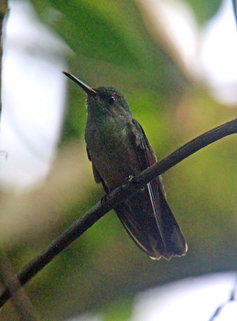 Hummingbird, Scaly-breasted