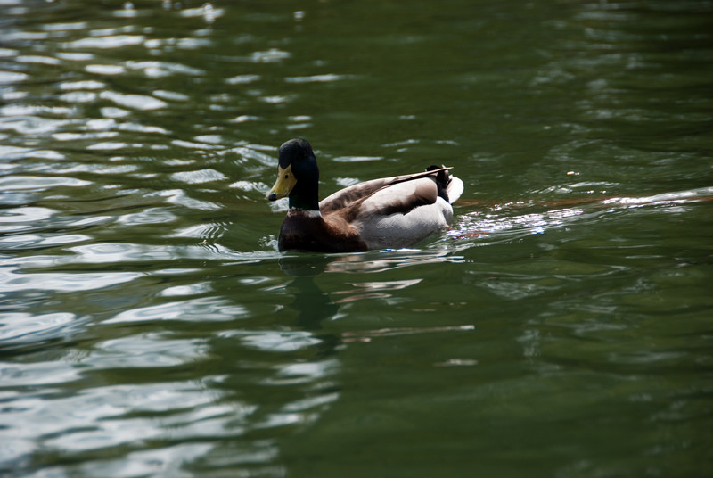 Another duck
