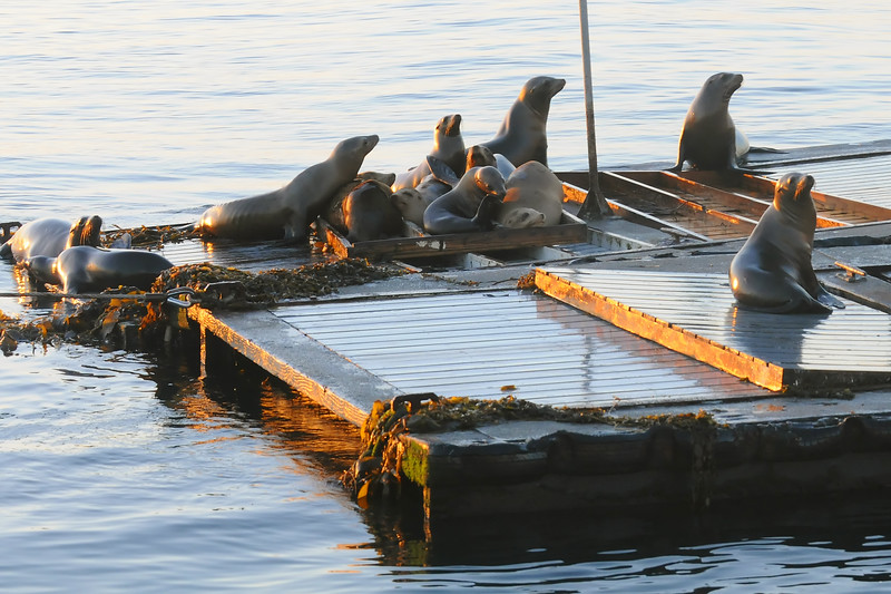 California sea lions looking for a handout at the bait dock