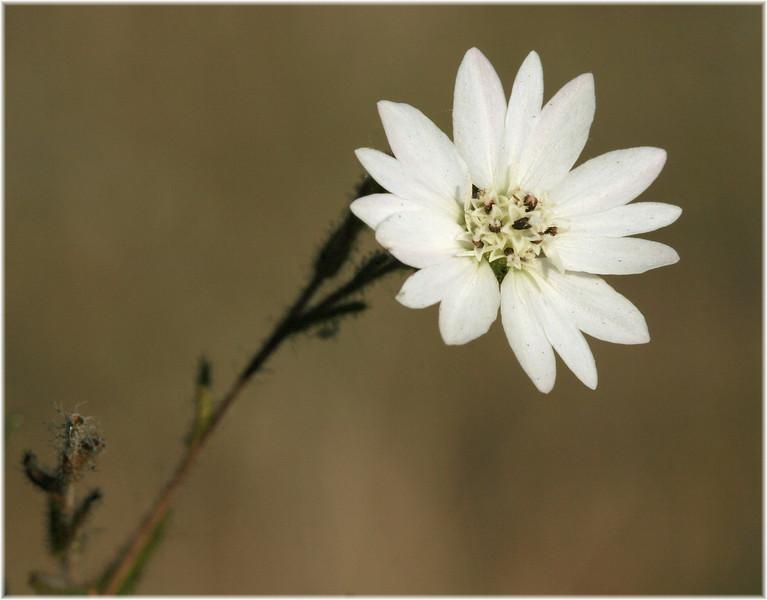 Tiny wildflower in the morning on Fairmont Ridge.