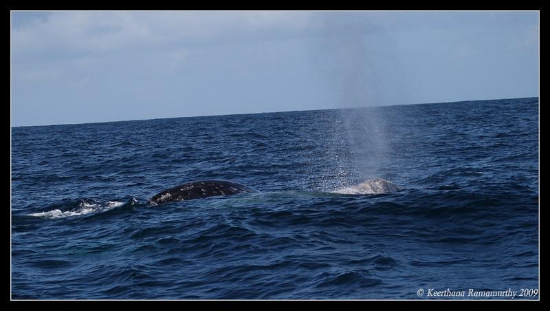 Gray Whale Breaching, Pelagic Trip Pacific Ocean, San Diego County, California, March 2009