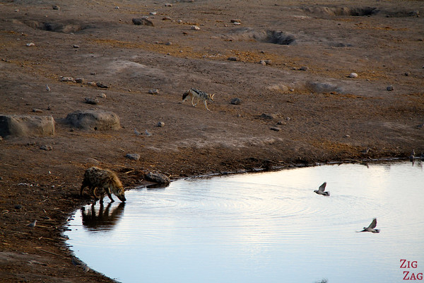 jackal and hyena in Etosha National Park, Namibia