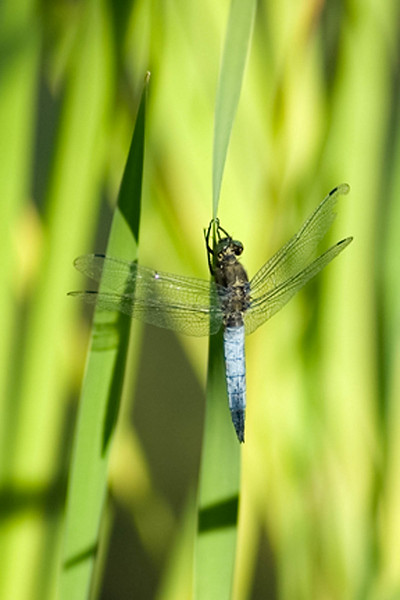 Broad Bodied  chaser?