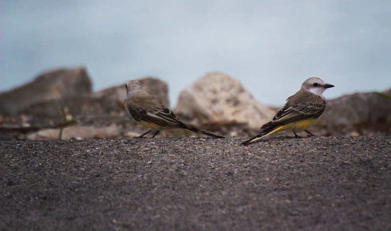 Immature scissor tailed flycatchers