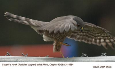 Cooper'sHawkA18584.jpg