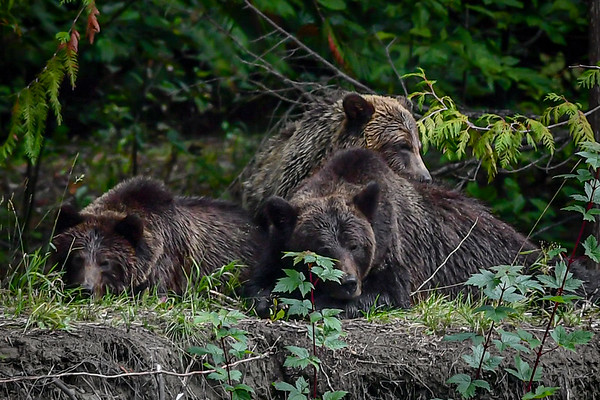 9-19-19 Grizzly Mom & 3 Cubs - Sleepy Hollow