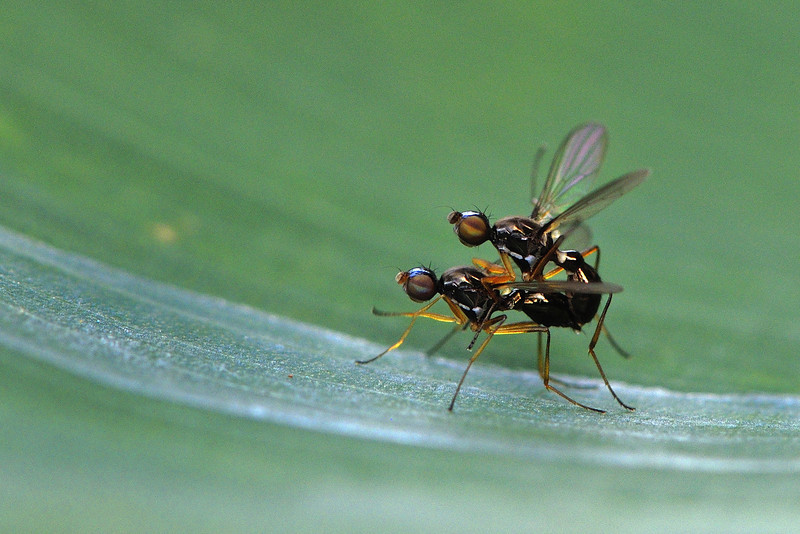 Mating-Flies.jpg