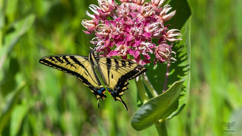 Roxy Butterfly 0030 16x9.jpg