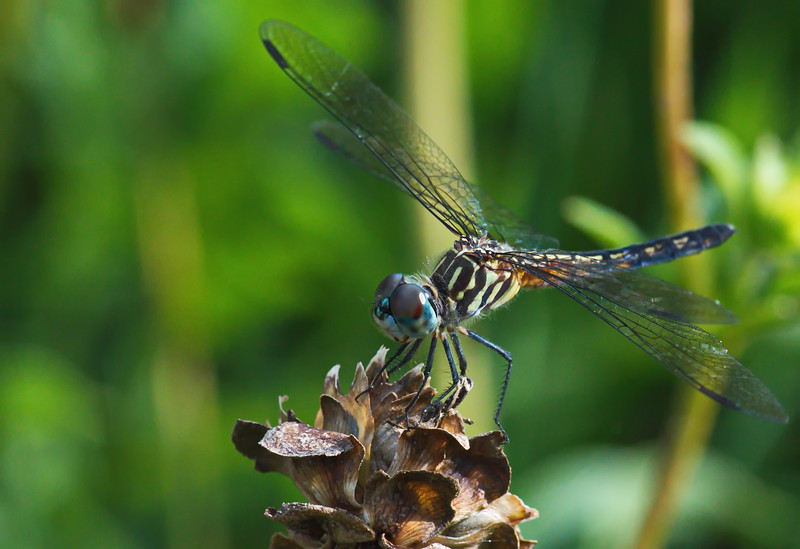 20190619_AnahuacNWR_Butterfly_Garden_Dragon_Fly_500_8169.jpg