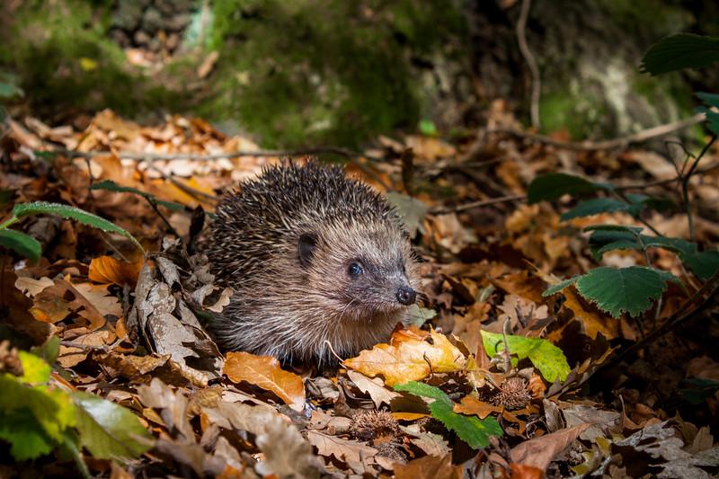 Hedgehog (Erinaceus europaeus) in oak woodland, UK.
