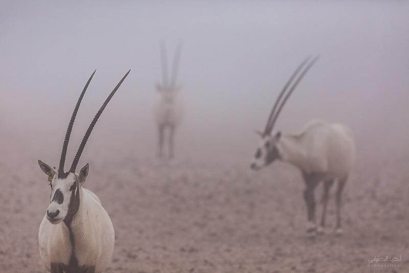 Arabian Oryx (56).jpg
