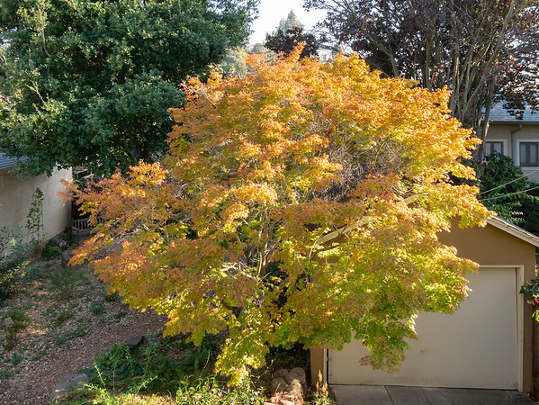 9 October 2017.  The maple tree is colorful, but it hasn't dropped that many leaves in the month or so that it's been showing oranges and yellows.