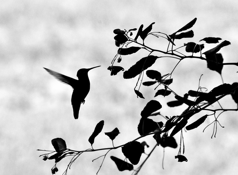 DSC_2231_hummingbird_silhouette_lg.jpg