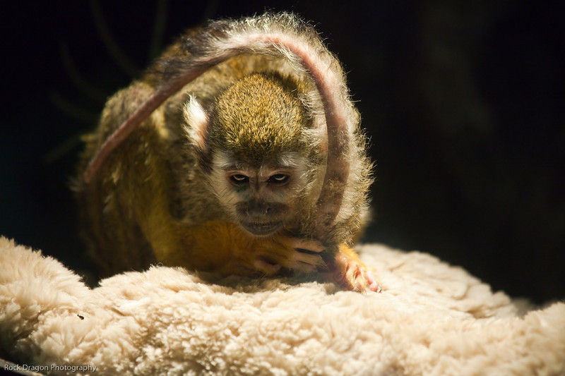 Squirrel Monkey, Calgary Zoo, June 22