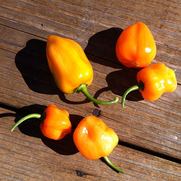What to do with these backyard beauties? #Habanero jam? Ideas welcome @sthrnfairytale @megan_e_brooks !