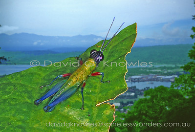 New Guinea Acrididae (Shorthorn Grasshoppers, Spur-throated Grasshoppers