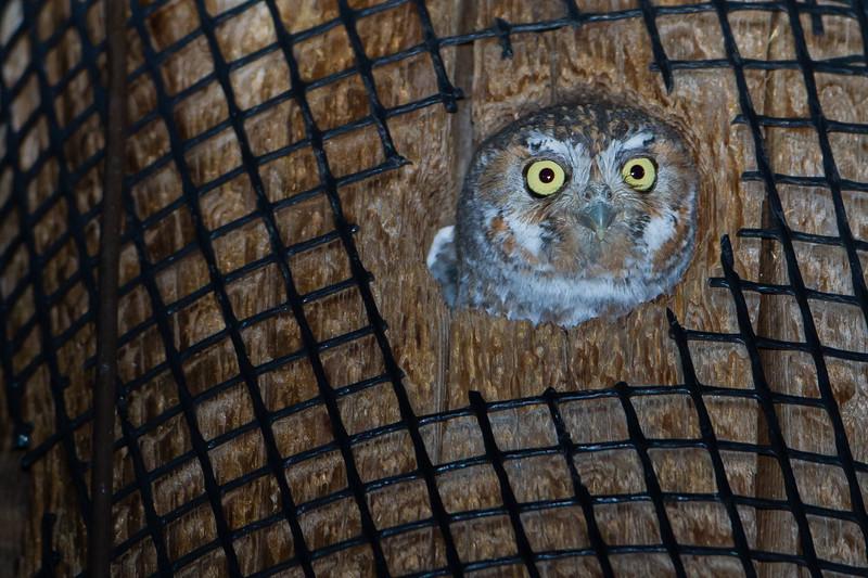 Elf Owl - Nr. Sierra Vista, AZ, USA