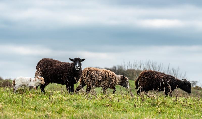 Malling Down Lambing Season-3.jpg