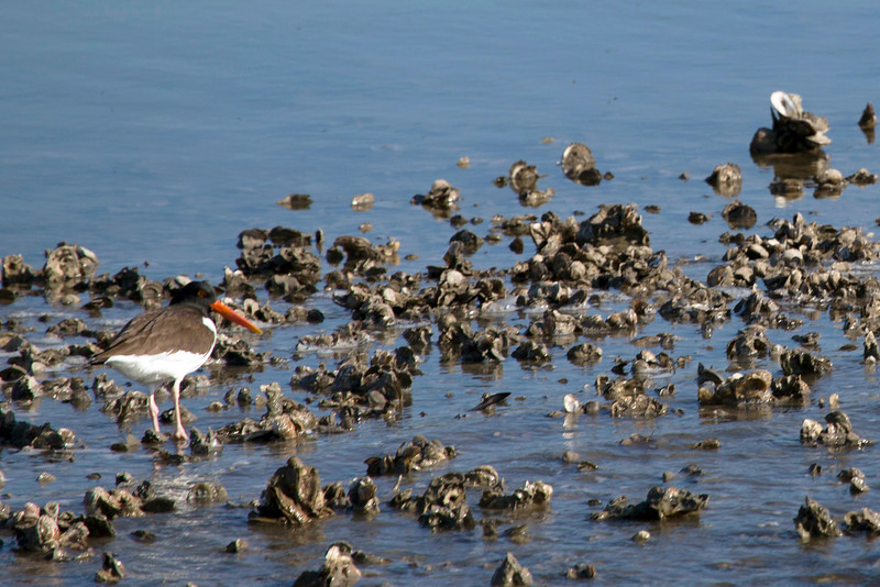 Another oyster catcher trying to catch oysters.