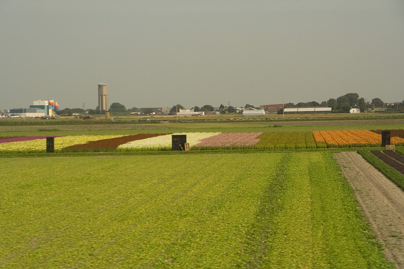 Flowers in the field. It wasn't tulip season, but we saw a number of flower fields on farms in the polder area.