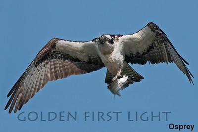 Osprey, Sauvie Island OR, USA