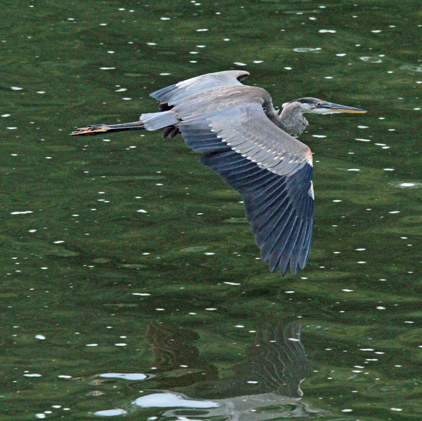 Great blue heron skimming the lake