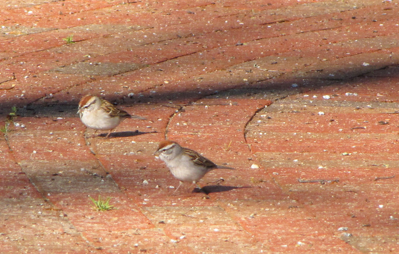 Adult Breeding Chipping Sparrows - Crowns Almost Match the Brick Path - Occoneechee State Park - Clarksville, Virginia