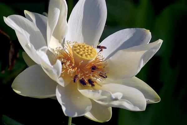 Texas, Ennis, Life Among Water Lilies