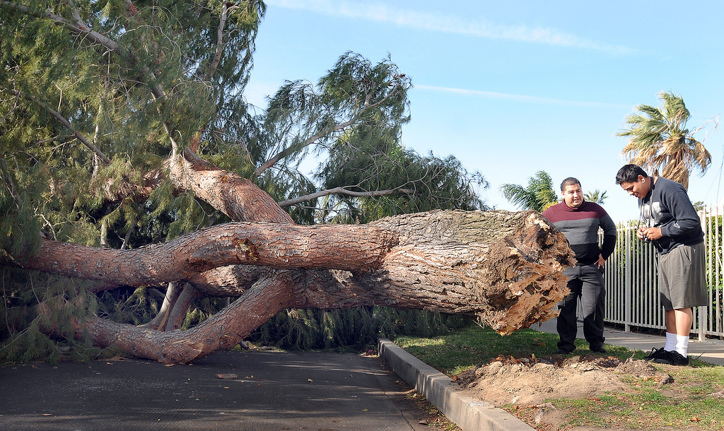 . A large pine tree fell across the 7800 block of  Chastain Ave., in Reseda, CA sometime after midnight on February 20, 2014.  The tree damaged a couple of vehicles and knocked out electricity to the neighborhood. Area residents Ivan Lopez and Robert Vargas view the damage.  (Photo by Dean Musgrove/Los Angeles Daily News)