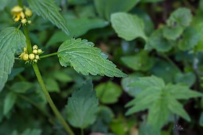 Lamier jaune (Lamium galeobdolon)