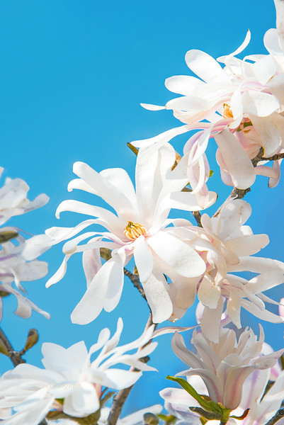 White Star Magnola Blossoms