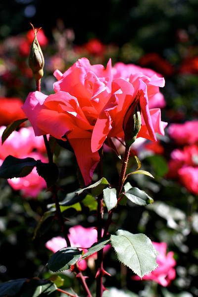 Portland International Rose Test Garden  2244.jpg