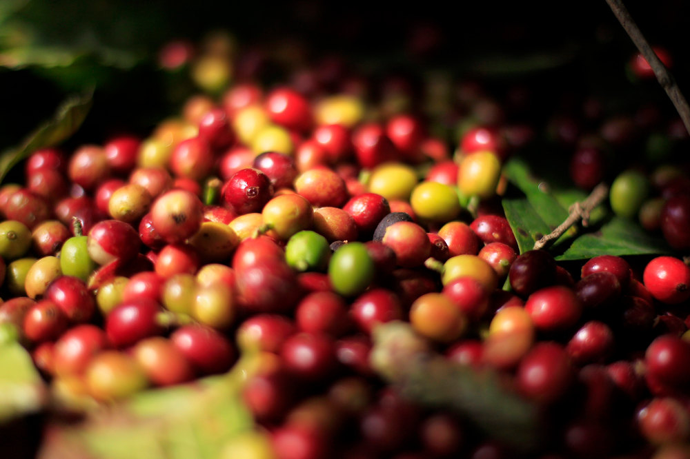 . Freshly harvested coffee beans are seen at the Santa Adelaida coffee cooperative in La Libertad, on the outskirts of San Salvador December 10, 2012. Once a family-owned coffee plantation split under a 1980 land reform, the Santa Adelaida coffee is now a cooperative dedicated to the production of organically-grown high ground coffee, which is certified by is non-governmental organization Rainforest Alliance, and exported to Germany, the U.S., Britain and Japan. The coffee plantation is currently run by a cooperative of over 150 members. Picture taken December 10, 2012. REUTERS/Ulises Rodriguez
