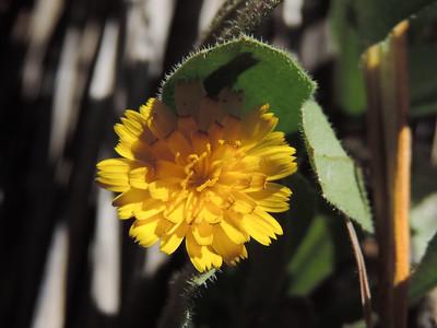 Crete Weed (Hedypnois cretica)
