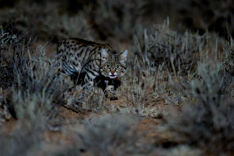 Black-footed cat (Felis nigripes), Karoo, South Africa