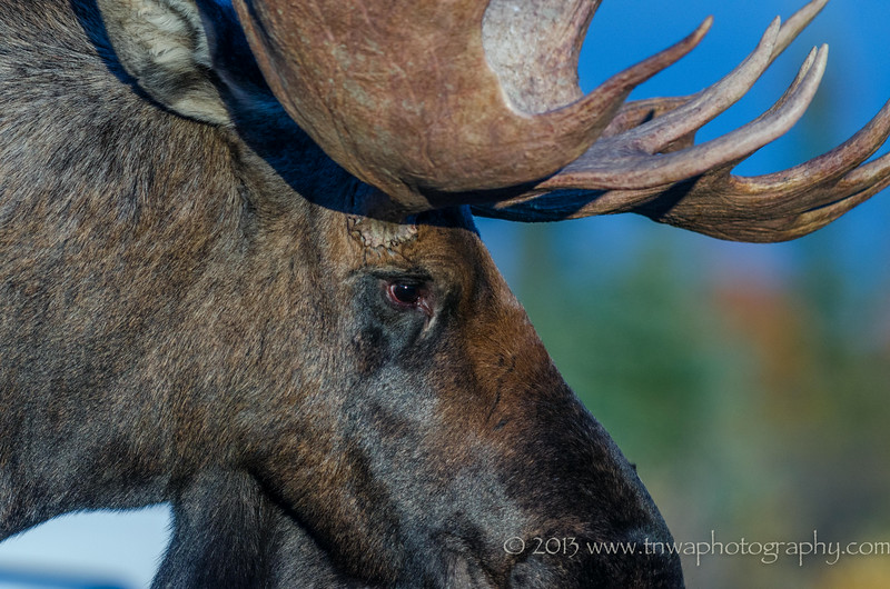 Moose Close Up Denali National Park Alaska © 2013