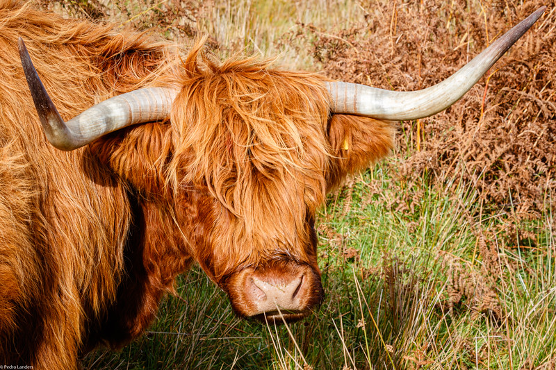 Highland Horns