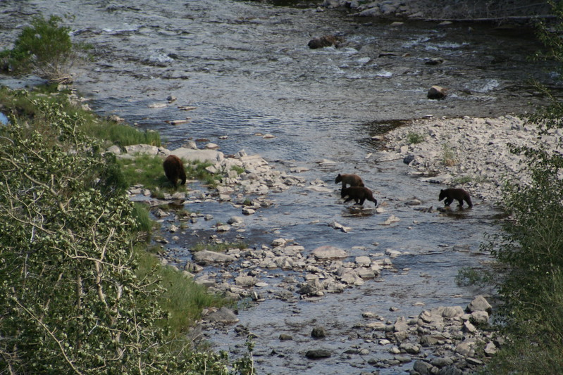 20110828 - 067 - GNP - Sow And 3 Bear Cubs Along Road By Many Glacier Hotel.JPG