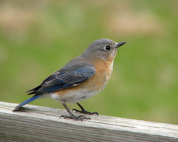 bluebird_3280.jpg