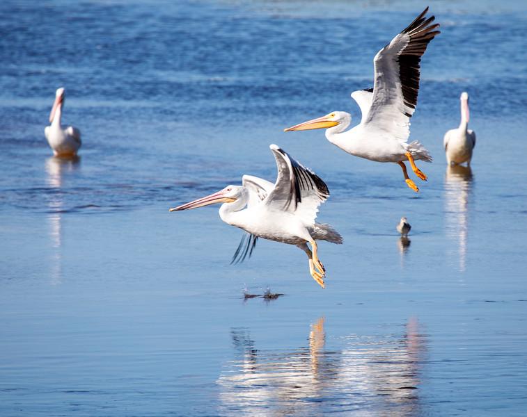 Pelicans-Flight-3.jpg