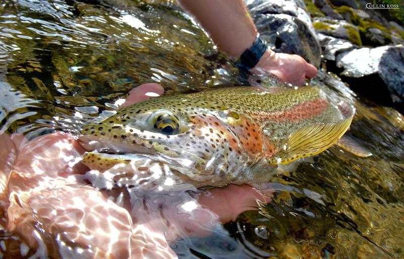 wondering eye of a rainbow trout...................