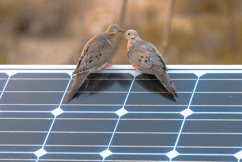 Dove Love On A Solar Panel #1