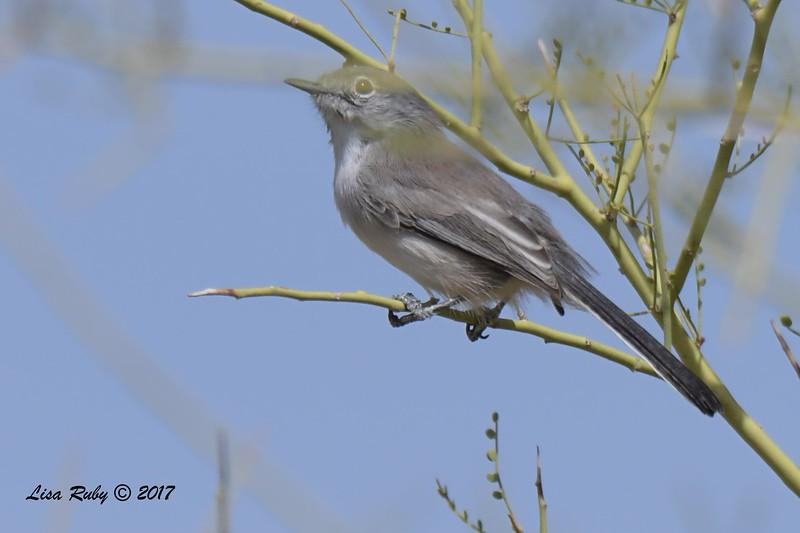 Black-tailed Gnatcatcher - 10/21/2017 - McDowell Sonoran Preserve, Scottsdale AZ