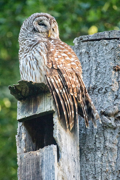 Owl  (48)